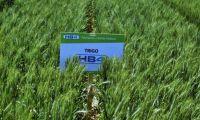 Qué es el trigo transgénico HB4 y por qué despierta preocupación