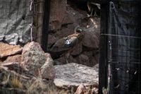 Murió envenenada Paqarina, la cóndor liberada hace dos años