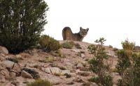 Pumas en Bariloche: ¿algo anómalo o deberíamos naturalizarlo?