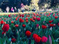 En octubre se lucen los tulipanes de península San Pedro
