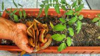 Plantas felices: prepará fertilizante casero con cáscaras de papa